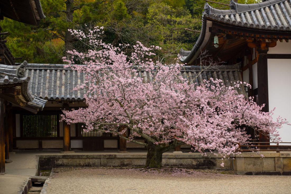 Japan's Poignant Cherry Blossom Season