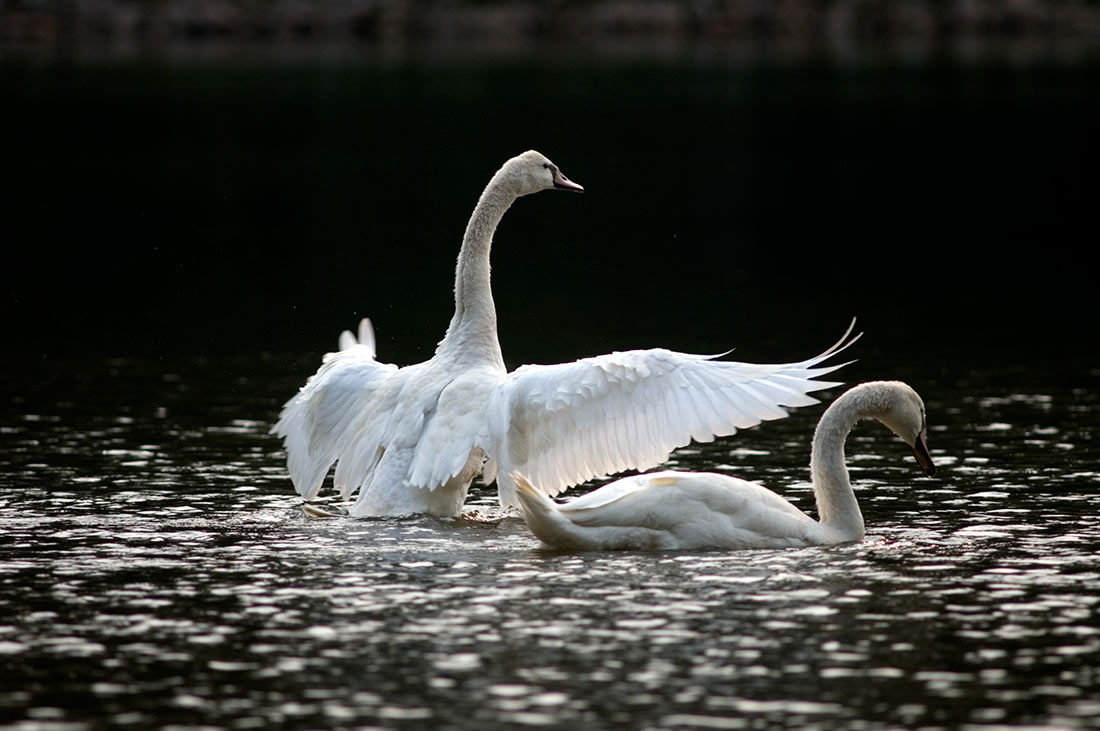 This Swan Spreada Its Wings On A Pond In North Carolina Demonstrating Several Differnt Types Of Feathers Single Bird